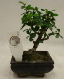 Küçük minyatür bonsai japon ağacı  Kahramanmaraş cicek , cicekci