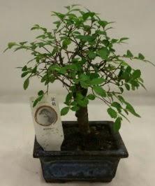 Minyatür ithal japon ağacı bonsai bitkisi  Kahramanmaraş uluslararası çiçek gönderme