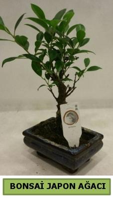 Bonsai japon ağacı saksı bitkisi  Kahramanmaraş çiçek , çiçekçi , çiçekçilik