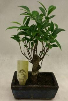 Japon ağacı bonsai bitkisi satışı  Kahramanmaraş cicekciler , cicek siparisi