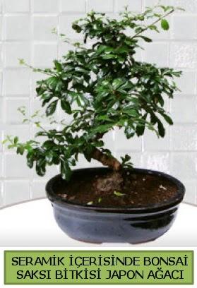 Seramik vazoda bonsai japon ağacı bitkisi  Kahramanmaraş çiçek servisi , çiçekçi adresleri