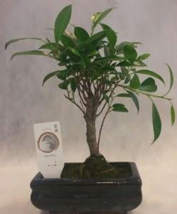 Bonsai japon ağacı bitkisi satışı  Kahramanmaraş çiçek siparişi vermek