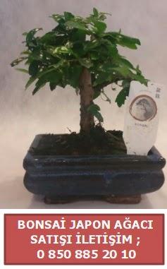 Japon ağacı minyaür bonsai satışı  Kahramanmaraş uluslararası çiçek gönderme