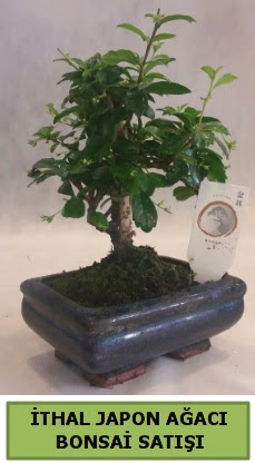 İthal japon ağacı bonsai bitkisi satışı  Kahramanmaraş cicekciler , cicek siparisi