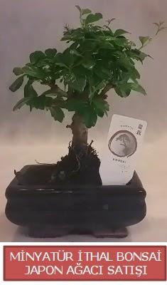 Küçük görsel bonsai japon ağacı bitkisi  Kahramanmaraş 14 şubat sevgililer günü çiçek