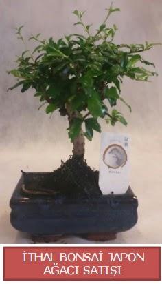 İthal küçük boy minyatür bonsai ağaç bitkisi  Kahramanmaraş cicekciler , cicek siparisi