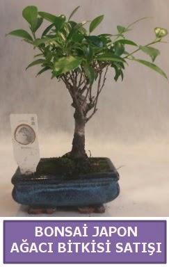 İthal Bonsai japon ağacı bitkisi satışı  Kahramanmaraş internetten çiçek siparişi
