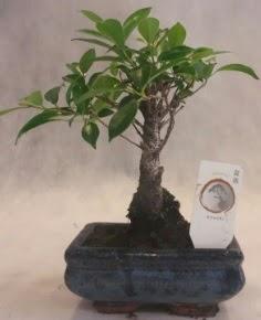 Bonsai ağacı japon ağaç bitkisi  Kahramanmaraş online çiçek gönderme sipariş