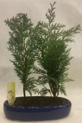 SINIRLI SAYIDA Selvi Ağacı bonsai ikili  Kahramanmaraş cicekciler , cicek siparisi