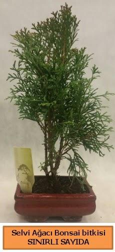 Selvi ağacı bonsai japon ağacı bitkisi  Kahramanmaraş uluslararası çiçek gönderme