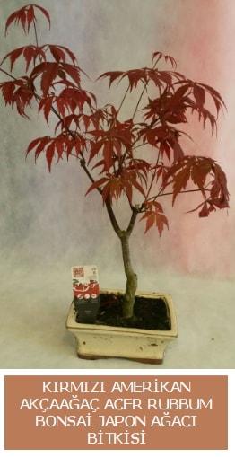 Amerikan akçaağaç Acer Rubrum bonsai  Kahramanmaraş çiçek gönderme sitemiz güvenlidir