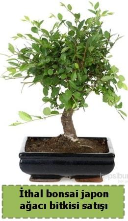 İthal bonsai saksı çiçeği Japon ağacı satışı  Kahramanmaraş internetten çiçek siparişi