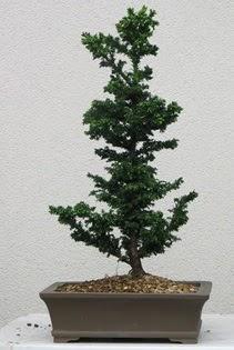 Çam ağacı bonsai bitkisi satışı  Kahramanmaraş cicekciler , cicek siparisi