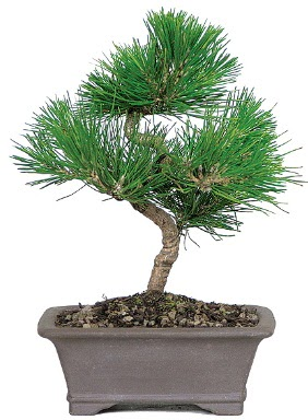 Çam ağacı bonsai japon ağacı bitkisi  Kahramanmaraş cicek , cicekci