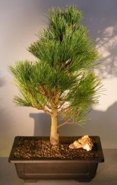 Çam ağacı japon ağacı bitkisi bonsai  Kahramanmaraş cicekciler , cicek siparisi