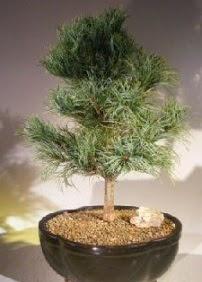 Çam ağacı bonsai bitkisi satışı  Kahramanmaraş anneler günü çiçek yolla