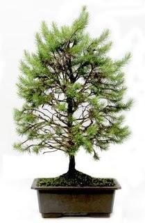 *** STOKTA YOK - Çam ağacı bonsai bitkisi satışı  Kahramanmaraş İnternetten çiçek siparişi