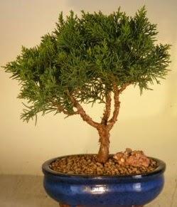 Servi çam bonsai japon ağacı bitkisi  Kahramanmaraş online çiçek gönderme sipariş