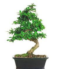 Bonsai bitkisi satışı  Kahramanmaraş cicekciler , cicek siparisi