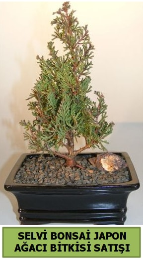 Selvi çam japon ağacı bitkisi bonsai  Kahramanmaraş cicekciler , cicek siparisi