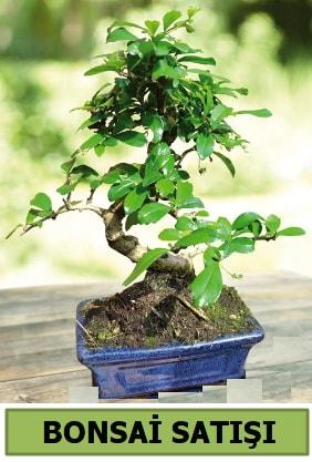 Çam bonsai japon ağacı satışı  Kahramanmaraş uluslararası çiçek gönderme