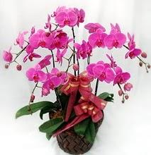 Sepet içerisinde 5 dallı lila orkide  Kahramanmaraş anneler günü çiçek yolla