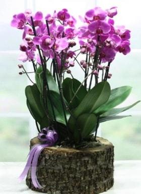 Kütük içerisinde 6 dallı mor orkide  Kahramanmaraş anneler günü çiçek yolla