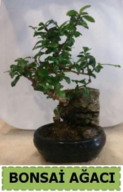 Bonsai ağacı japon ağacı satışı  Kahramanmaraş hediye sevgilime hediye çiçek