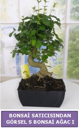 S dal eğriliği bonsai japon ağacı  Kahramanmaraş uluslararası çiçek gönderme