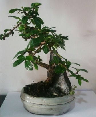 S şeklinde ithal bonsai ağacı  Kahramanmaraş online çiçek gönderme sipariş