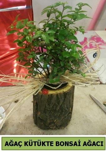 Doğal ağaç kütük içerisinde bonsai ağacı  Kahramanmaraş çiçek siparişi vermek