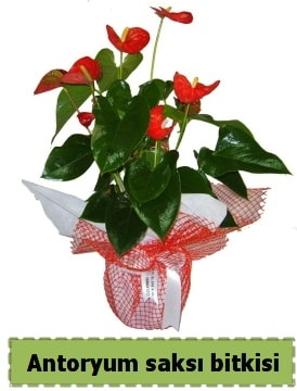 Antoryum saksı bitkisi satışı  Kahramanmaraş 14 şubat sevgililer günü çiçek