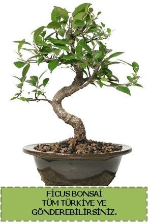 Ficus bonsai  Kahramanmaraş çiçek siparişi vermek