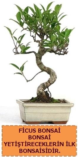 Ficus bonsai 15 ile 25 cm arasındadır  Kahramanmaraş online çiçek gönderme sipariş
