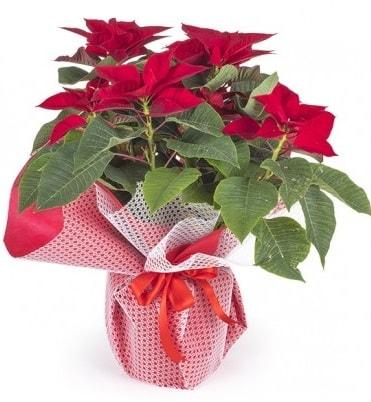 Atatürk çiçeği saksı bitkisi  Kahramanmaraş çiçek siparişi vermek