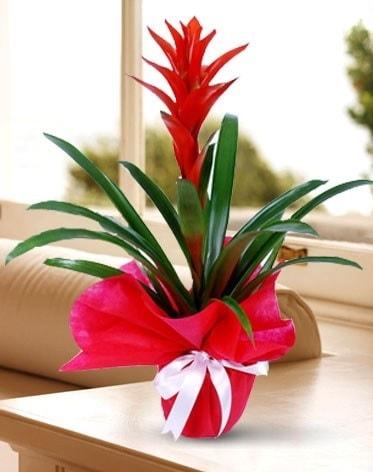 Guzmanya Saksı Çiçeği  Kahramanmaraş online çiçek gönderme sipariş