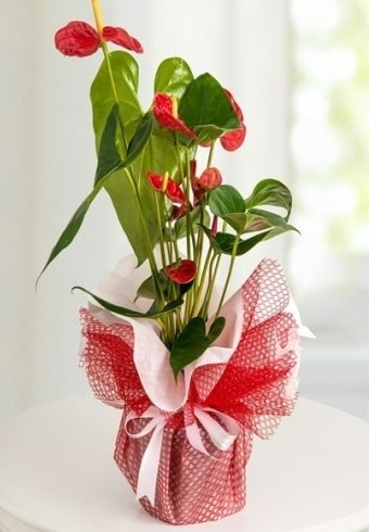 Anthurium Saksı Çiçeği  Kahramanmaraş hediye sevgilime hediye çiçek