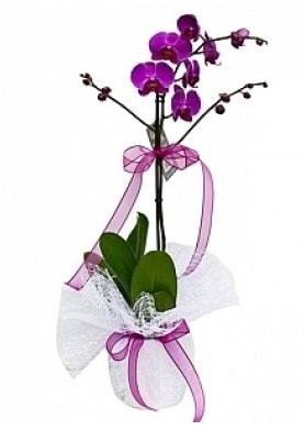 Tekli Mor Orkide  Kahramanmaraş online çiçek gönderme sipariş