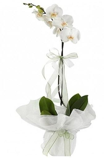 Tekli Beyaz Orkide  Kahramanmaraş hediye sevgilime hediye çiçek