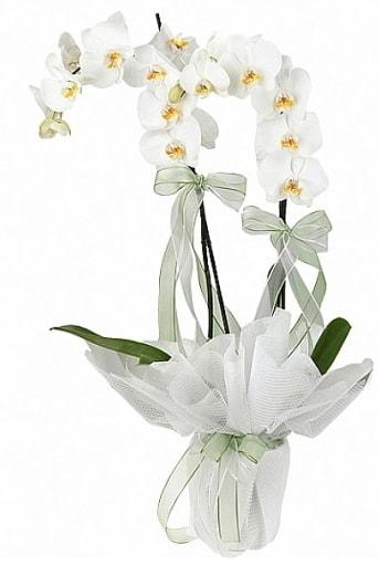 Çift Dallı Beyaz Orkide  Kahramanmaraş çiçek gönderme