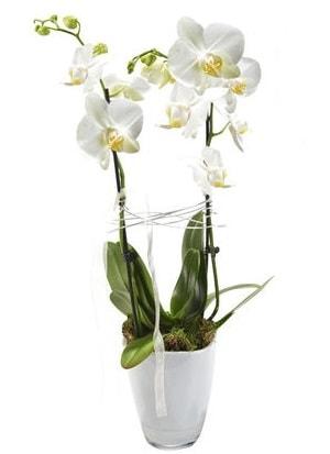 2 dallı beyaz seramik beyaz orkide saksısı  Kahramanmaraş çiçek siparişi vermek