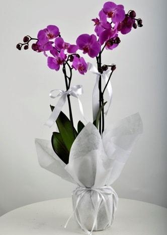 Çift dallı saksıda mor orkide çiçeği  Kahramanmaraş yurtiçi ve yurtdışı çiçek siparişi