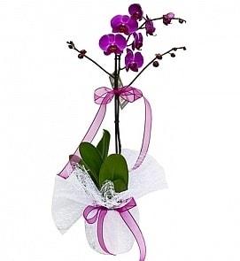 Tek dallı saksıda ithal mor orkide çiçeği  Kahramanmaraş kaliteli taze ve ucuz çiçekler