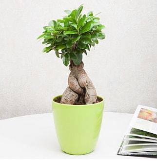 Ficus Ginseng Bonsai  Kahramanmaraş çiçek yolla