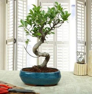 Amazing Bonsai Ficus S İthal  Kahramanmaraş güvenli kaliteli hızlı çiçek