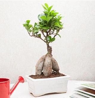 Exotic Ficus Bonsai ginseng  Kahramanmaraş çiçek , çiçekçi , çiçekçilik
