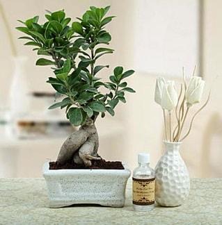 Ginseng ficus bonsai  Kahramanmaraş kaliteli taze ve ucuz çiçekler