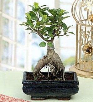 Appealing Ficus Ginseng Bonsai  Kahramanmaraş çiçek gönderme