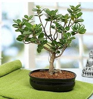 Lovely Ficus Iceland Bonsai  Kahramanmaraş çiçek gönderme