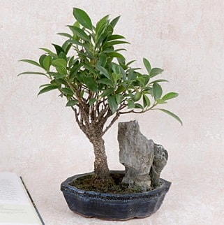 Japon ağacı Evergreen Ficus Bonsai  Kahramanmaraş çiçek siparişi vermek